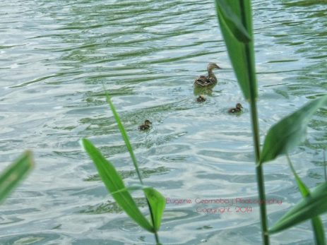 image of duck beginning training ducklings