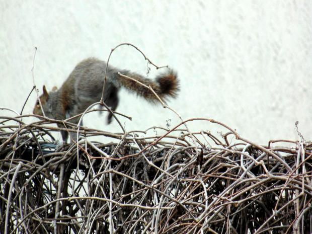 A critter (squirrel) on the move (high wire act) on a cable covered with vine.