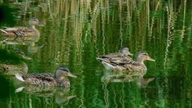 """refraction"" picture depicting a bunch of young ducks reflected on the water."