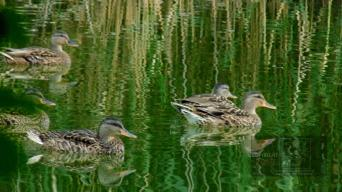 """""""refraction"""" picture depicting a bunch of young ducks reflected on the water."""
