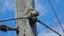 Serendipity is squirrel perched on power pole.