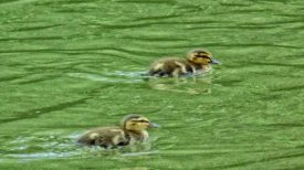 Fresh out of the egg ducklings racing.