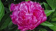 Flower for mom is a Peony.