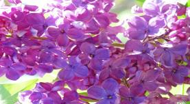 Lilac moment signaled summer weather.