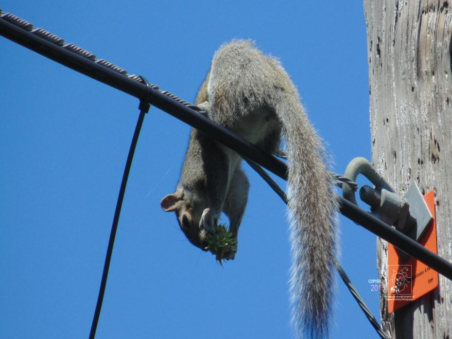 Careful lunch high up on powerline is common with local grey squirrels.