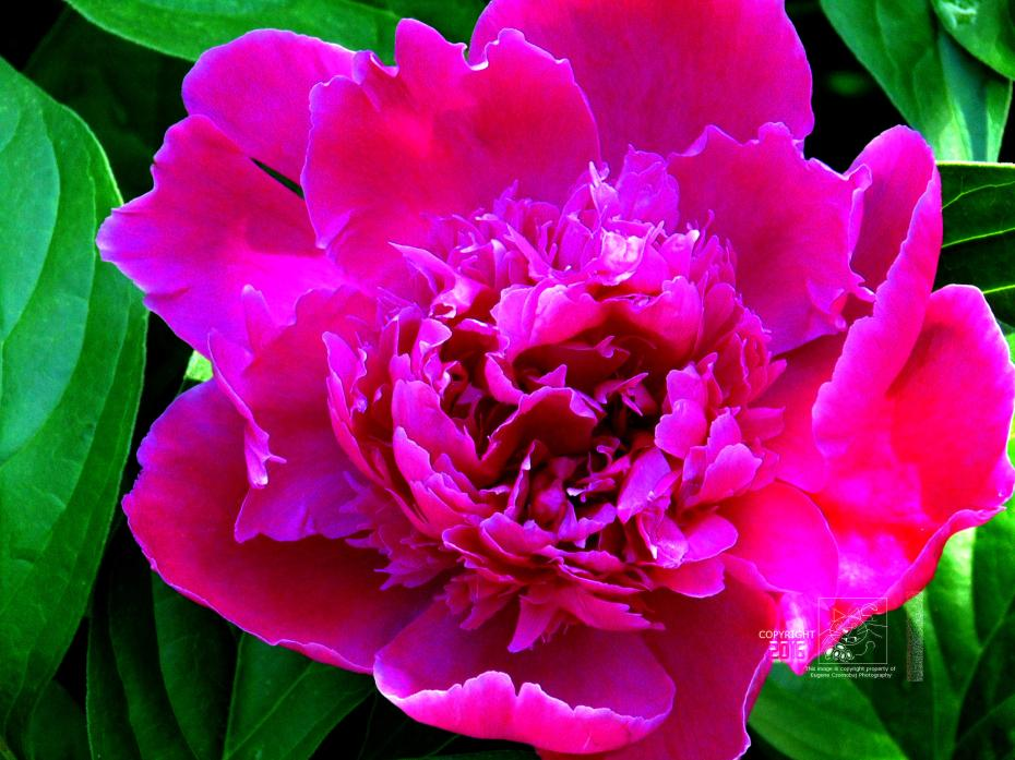 A vibrant pink peony flower in a sea of multi-shades of green leaves.