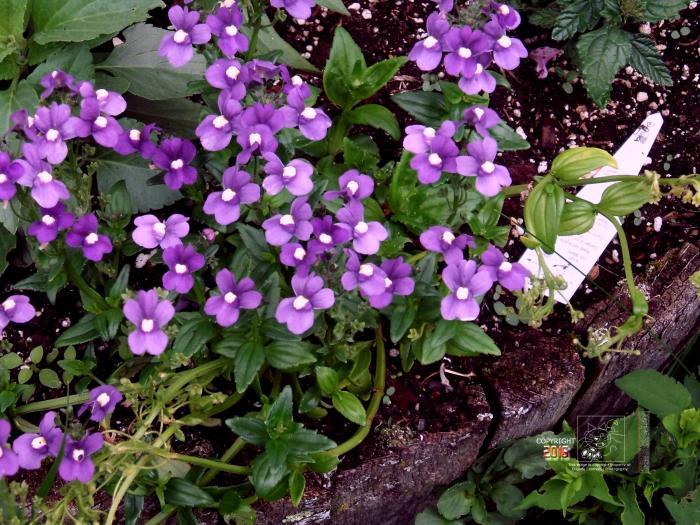 vibrant purple dainties