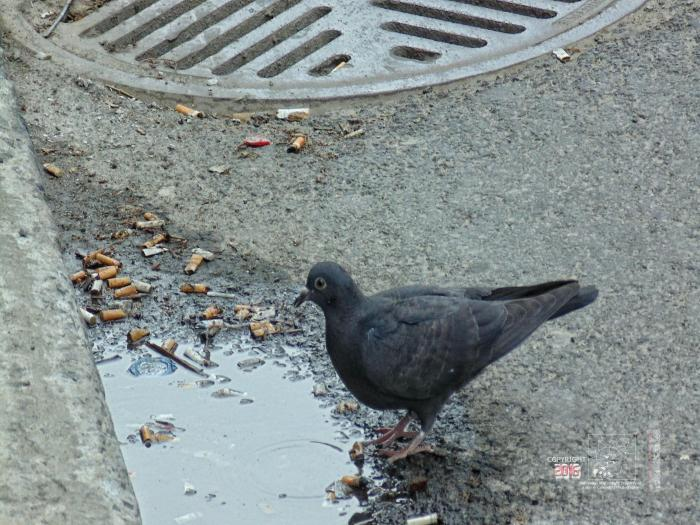 Filth polluted, stagnant street curb water is pigeon's favorite drink.
