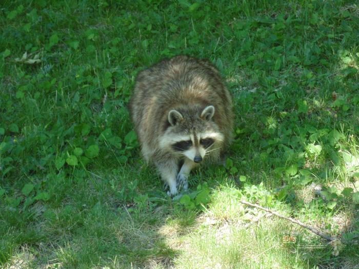 Feeding was obvious because of way racoon behaved near human visitors to cemetery.