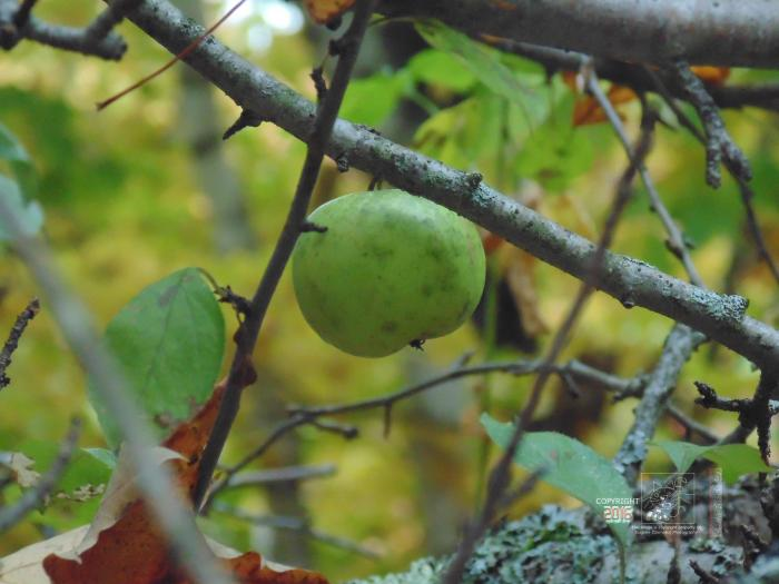 A lonely waiting a little wild apple hung on tree next to road across from remains of an old farmhouse.