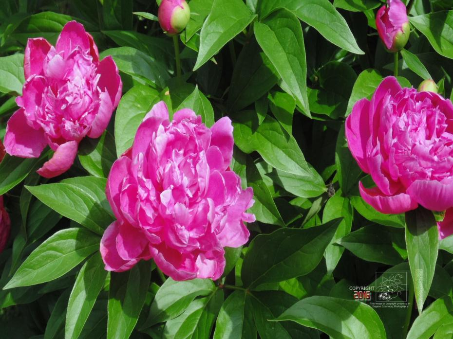 The Peony fragrance not the most aromatic however, its compounds and ingredients can help our health.