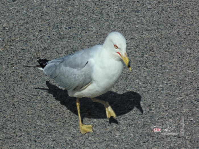 Seagull with evident anticipation eyes everything happening in local supermarket parking lot.