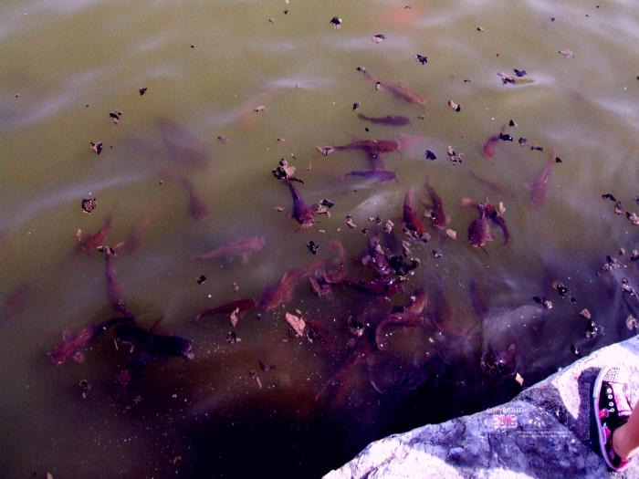 Fish frenzy after man throws breadcrumbs into Centennial Park's artificial lake.