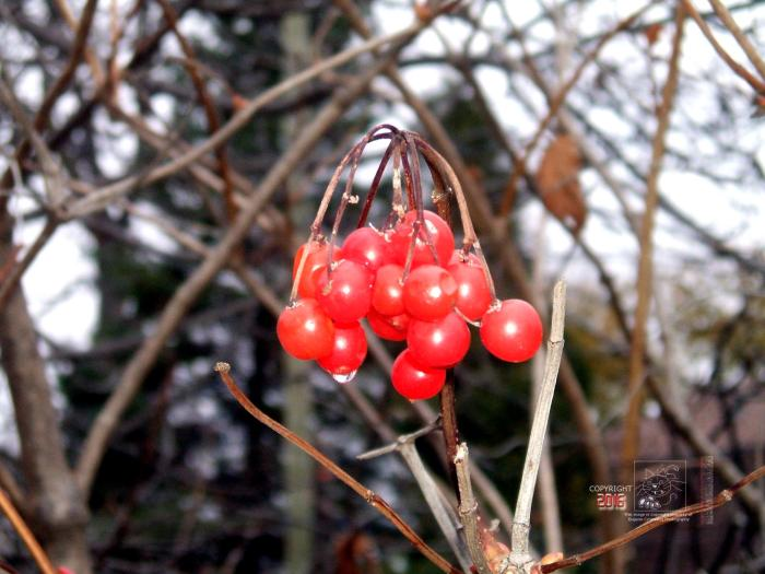 Transmogrified shiny red berries are what is left on this shrub in late autumn.