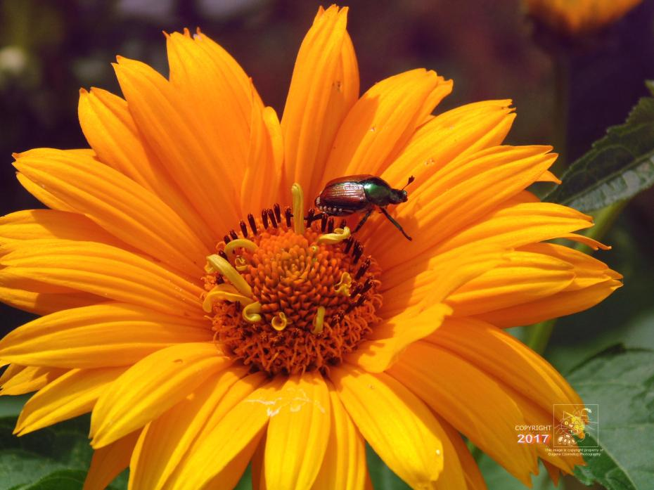 Ravenous Japanese beetle attracted by Perennial Sunflower's delicious scent.