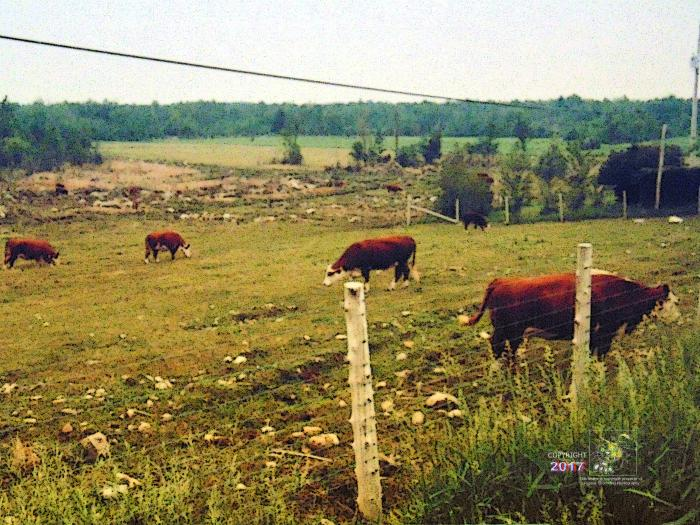 Beef cows ruminate in scruffy type semi-wooded field in Eastern Townships near rural road.