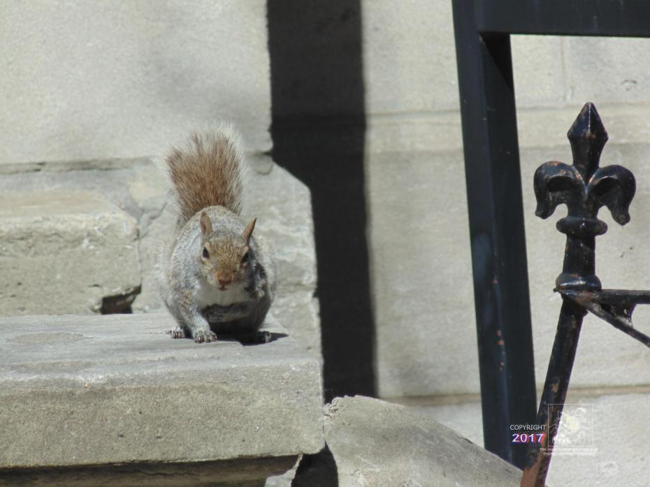 Grey squirrel motionless in contemplative pause after coming face-to-face with photographer.