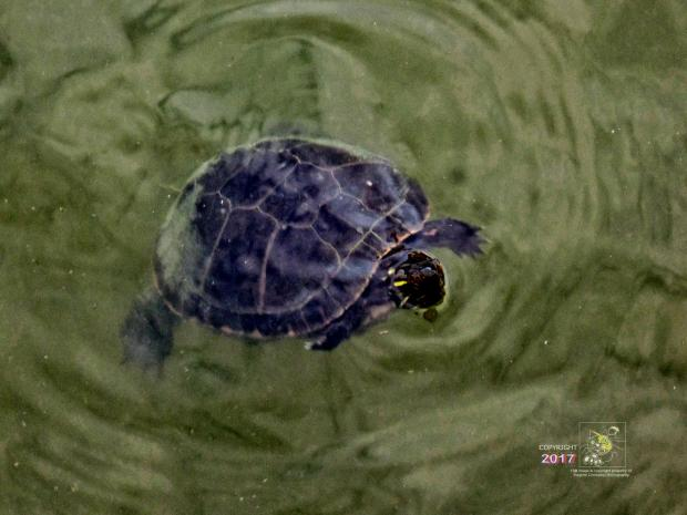 Adrift , motionless, seemingly lifeless, turtle floating in murky, greenish colored Centennial Park lake.
