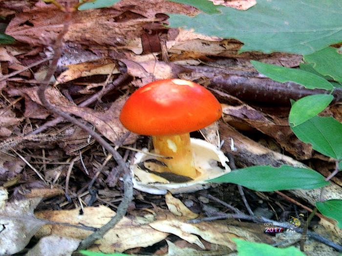 Cute red cap Amanita family mushroom appears harmless yet a danger if eaten and could make it your last meal.