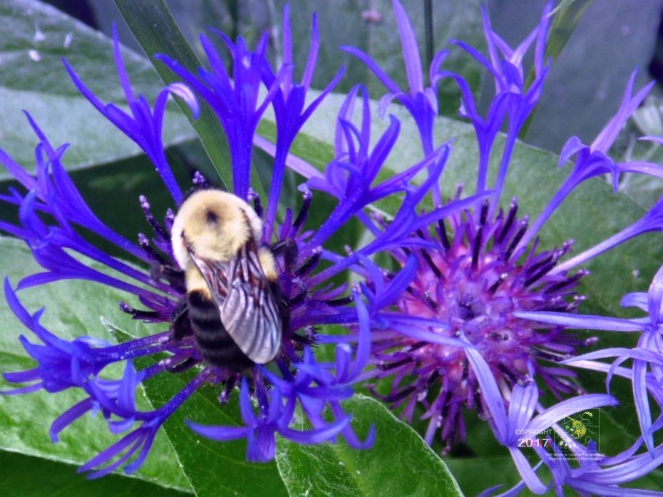 Mountain Cornflower is Bumble Bee approved and loved attractive, robust, invasive, weedy, high yield nectar producing plant.
