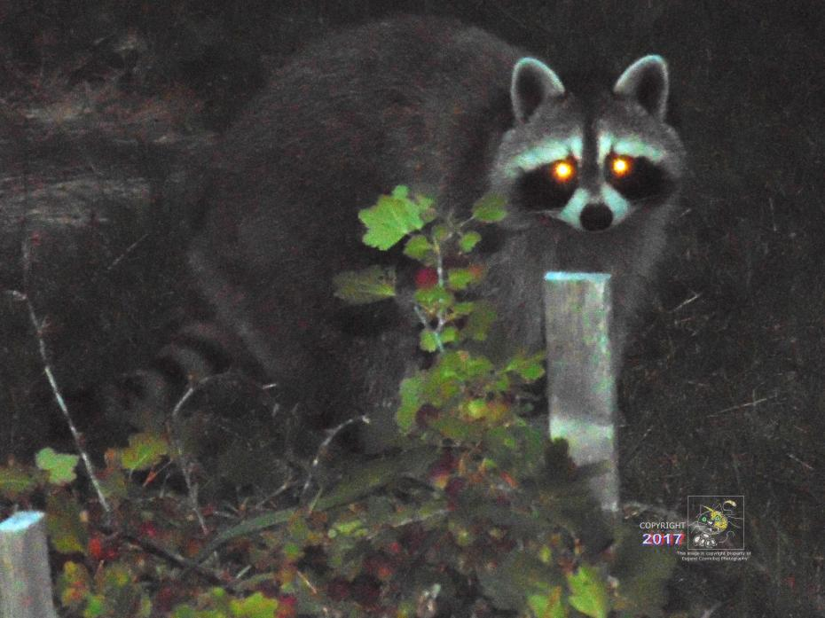 Raccoons can't resist gooseberry fragrance, a sweet odor signaling possible presence of ripe berries.