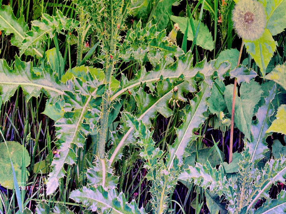Weeds including prickle weeds, go wild during particularly wet Summer like this year in Canada's east coast.
