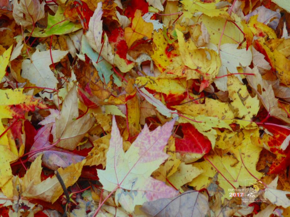 More than one leaf down like this pile of mostly red and yellow maple leaves awaiting Winter snows.