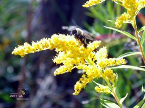 Honey bees like one depicted really enjoy visiting their Solidago whose nectar flavor is incredibly delicious.