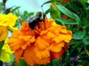 Bee sluggishly resting on orange flower on warm day during Labor Day weekend sensing Winter is coming.
