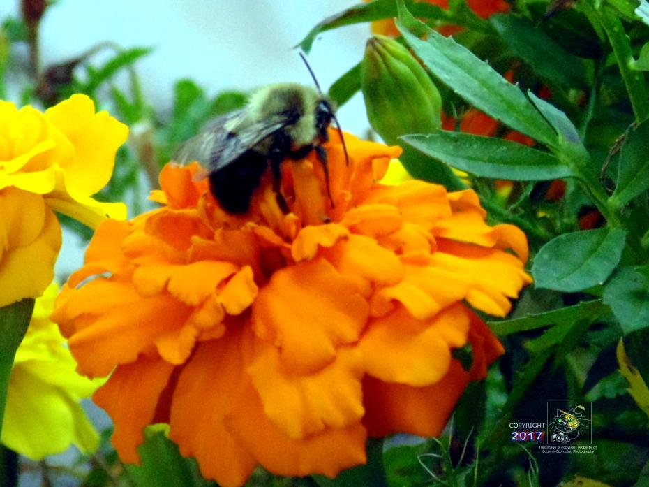 Bee sluggishly resting on orange flower on warm day during Labor Day weekend sensing Winter is coming.