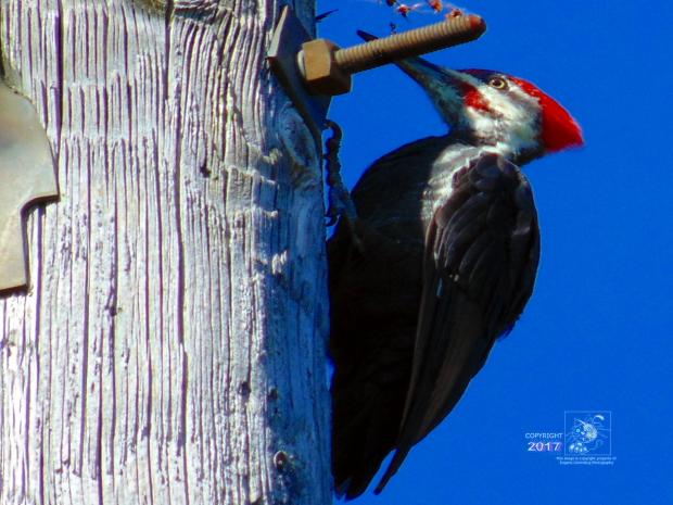 Giant Pileated Woodpecker's bug interest is evident when perched high up utility pole eating insects.
