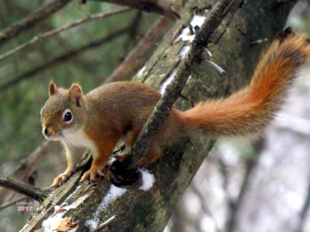 Very excited, cheeky red squirrel was breathing heavily, chattering, and incessantly scolding me for being there.