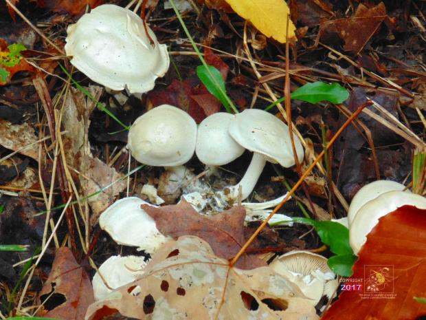 Centered amidst mostly brown dead forest foliage toxic white mushroom bunch peeks out seeking sun.