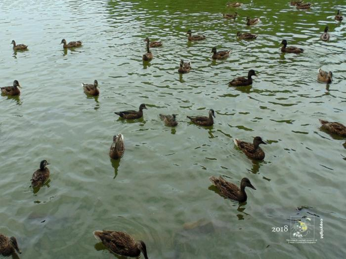 Female Mallard and Wood ducks in Centennial Park's artificial lake qualifies for variations on a theme.