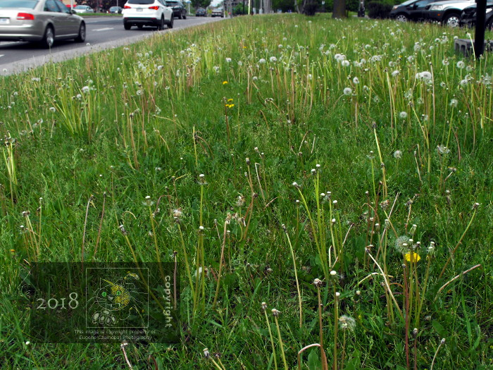 Multitudes of weeds promarily dandelion puffballs infect lawn on Sources boulevard in May this year.