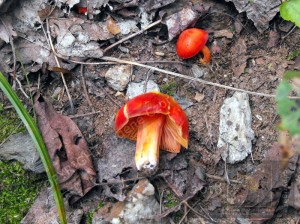 All red wild mushrooms depicted should be considered a red alert, imminent danger.